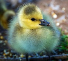 Gosling. 999,999 on the cuteness scale.